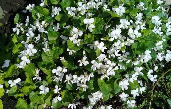 Фиалка садовая многолетняя белая