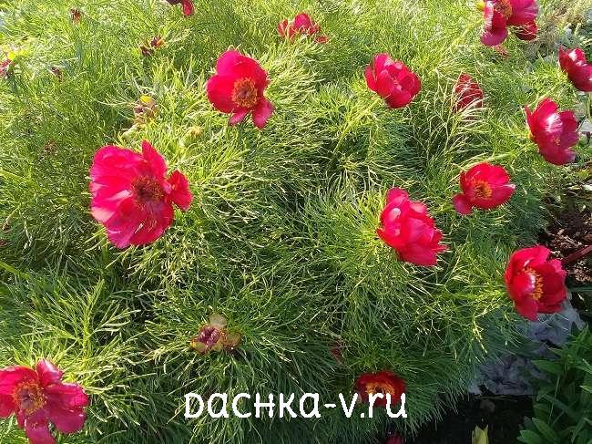 Пион узколистный цветет на клумбе