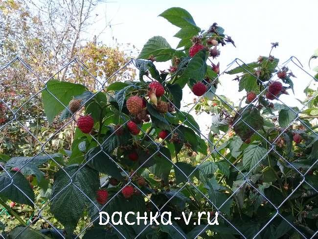 0 Ремонтантная малина выращивание и уход