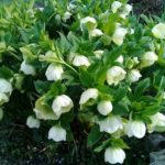 Цветок морозник выращиваем в открытом грунте