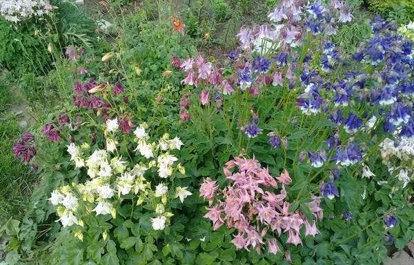 Многолетние цветы для ленивых