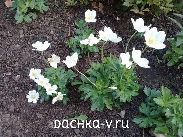 Анемона цветет в мае