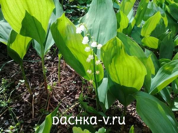 Цветуший ландыш в мае