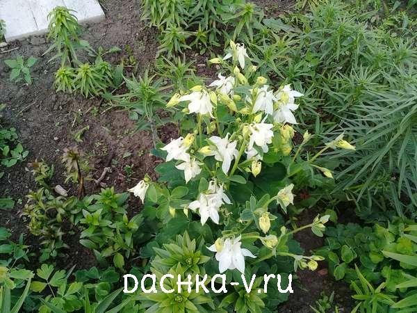Аквилегия белая с лилией