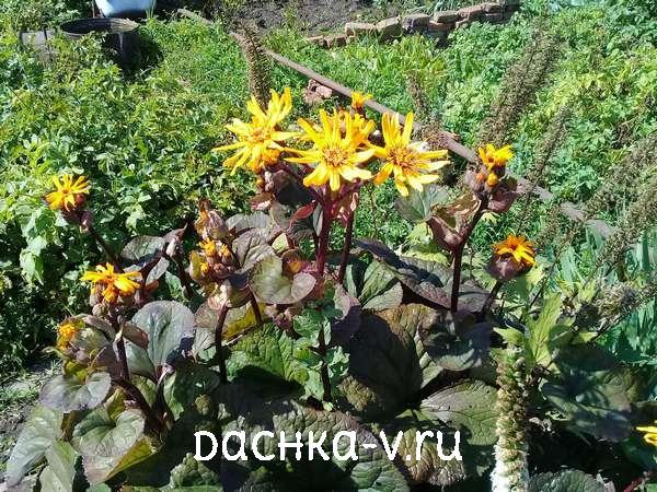 Цветущий бузульник зубчатый