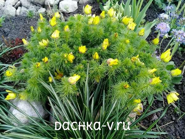 Адонис цветок купить