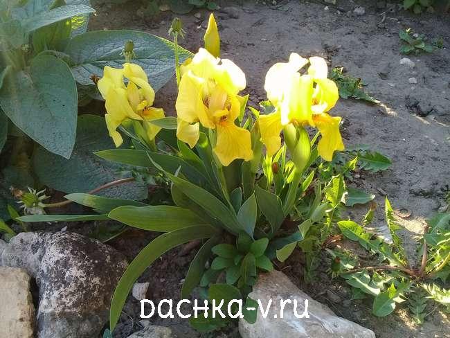 Ирисы карликовые желтые