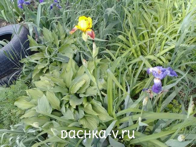 Ирисы желтые и голубые с хостами и лилейниками