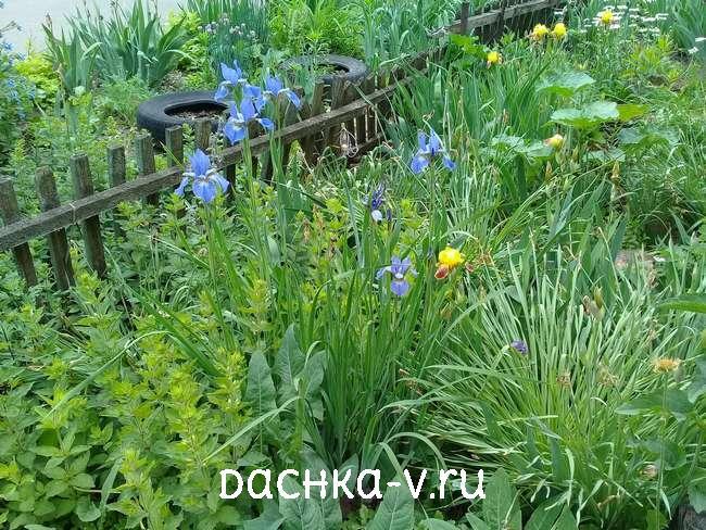 Ирисы голубые болотные в сочетании с вербейником