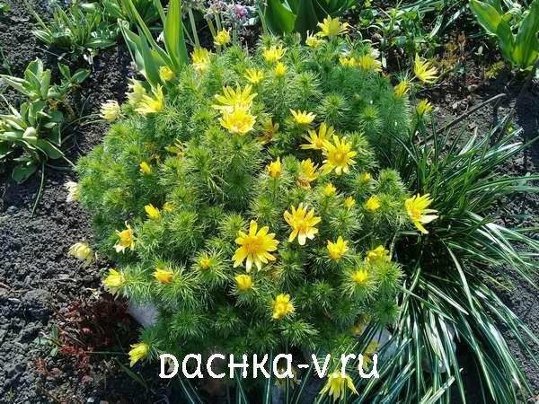Адонис цветет на клумбе