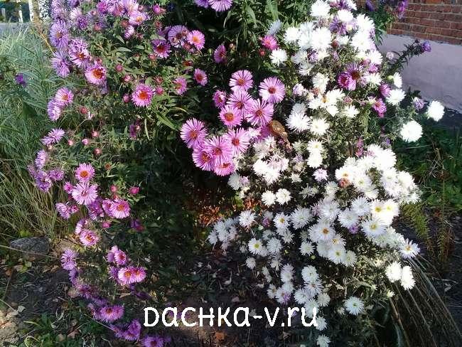 Астра кустовая белая и розовая