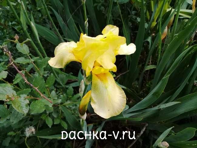 Ирисы желтые