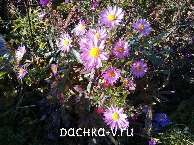 Астра кустовая цветет поздней осенью