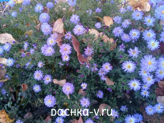 Астра кустовая голубая сентябринка