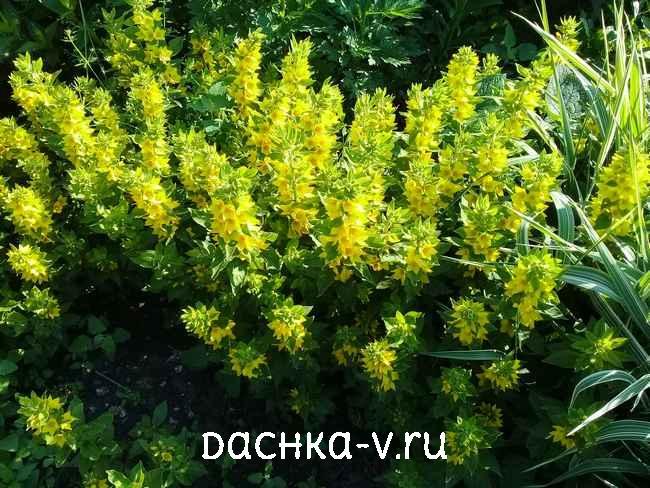 Вербейник точечный с желтыми цветами