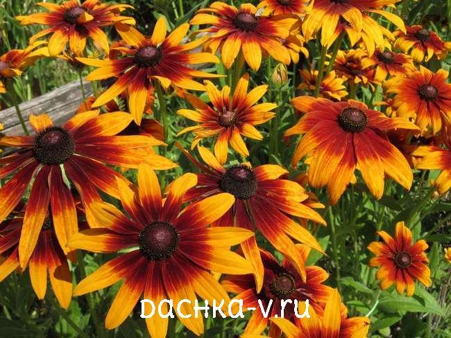 Рудбекия цветет на клумбе