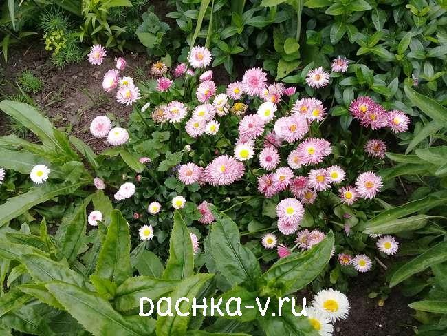 Двухлетки маргаритки цветут на клумбе