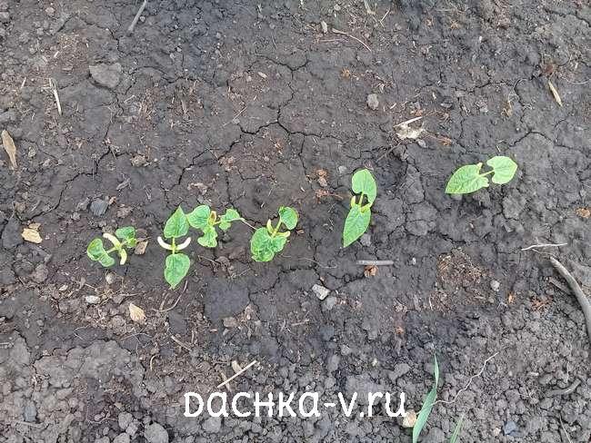 Молодые ростки фасоли взошли