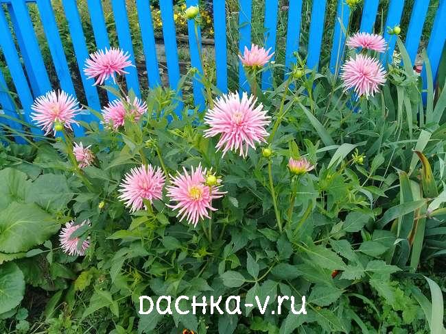 Проросший георгин цветет на клумбе