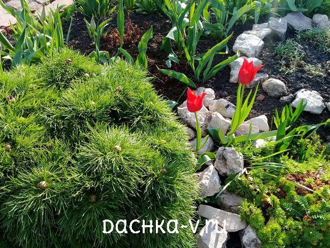 Красивые цветы тюльпаны 1