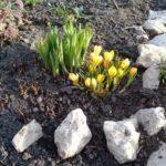 Крокус весеннее цветение