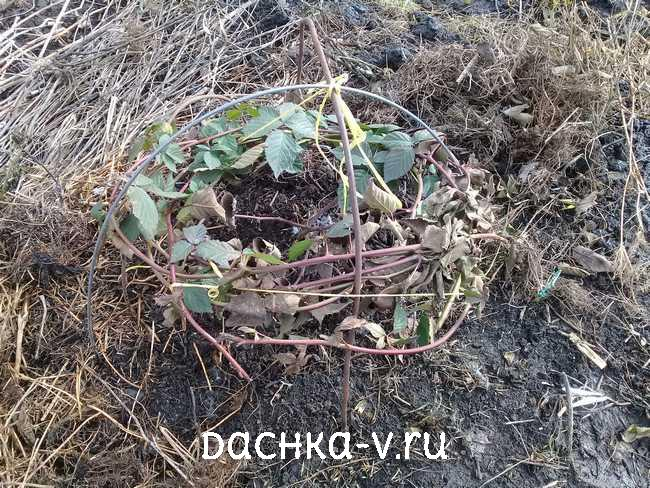 Открываем ежевику, азалию и розы весной в Подмосковье