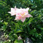 Тюльпан Peach Blossom купить