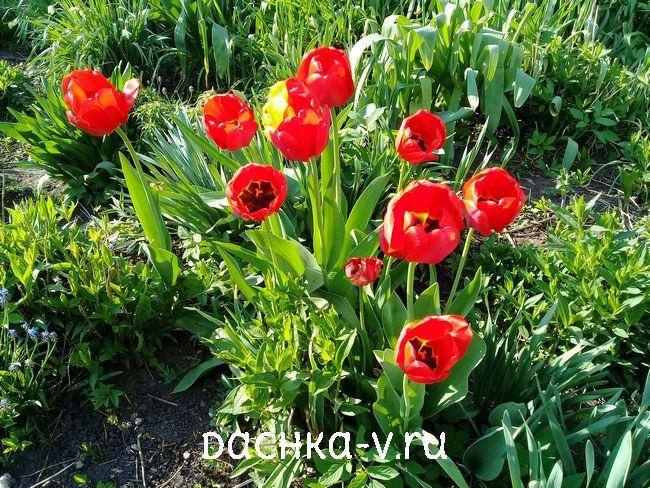 Тюльпан ранний красный 1