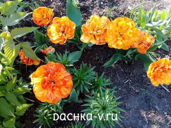 Тюльпан Дабл Бьюти оф Апельдорн 1