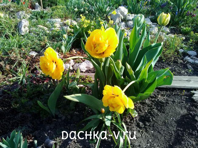 Тюльпан Йеллоу Помпонетт 1