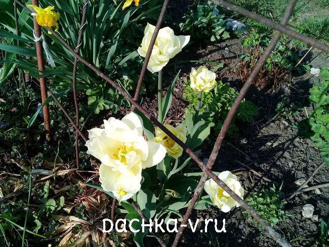 Тюльпан махровый касабланка 1