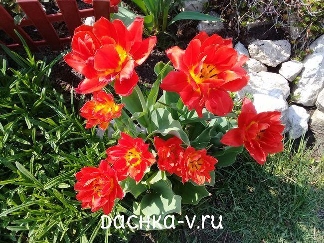 Тюльпан Миранда 1
