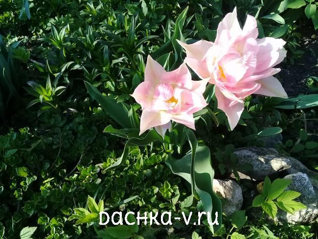 Тюльпан Peach Blossom цветет весной