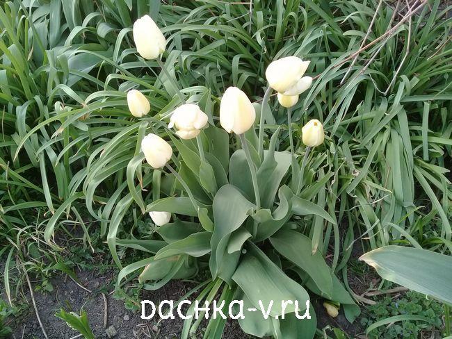Тюльпан белый 1