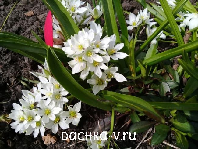 Птицемлечник белый зонтичный цветет