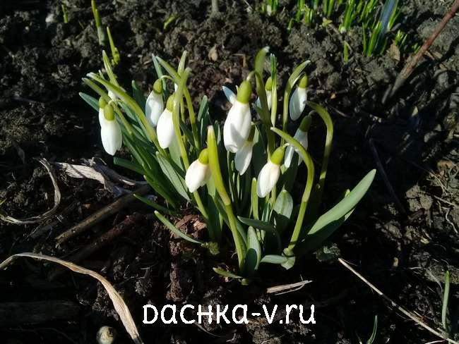 Подснежник цветет в апреле