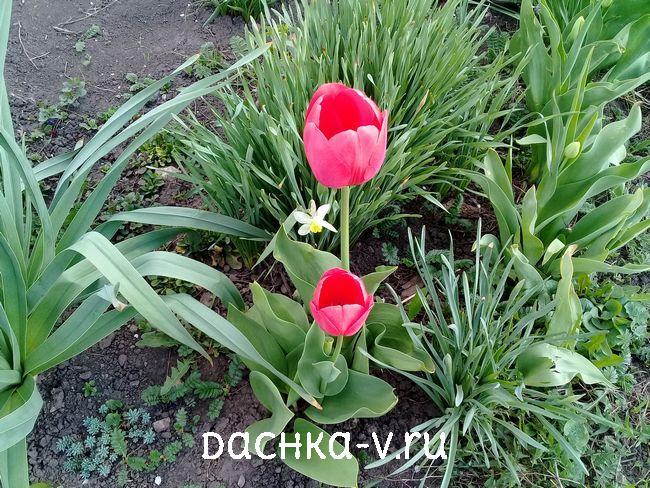 Тюльпан розовый 1