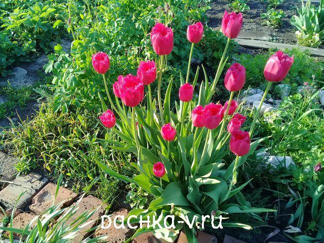 Тюльпан розовый игольчатый 1