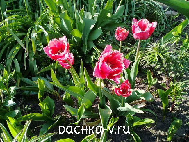 Тюльпан розовый с белыми иголками 1