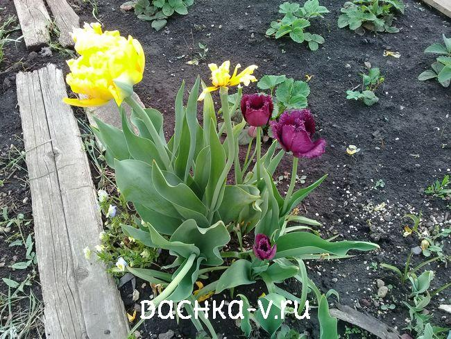 Тюльпан черный игольчатый 1
