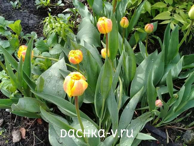 Тюльпаны 2021 фото