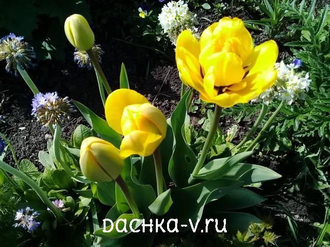 Махровый тюльпан желтый