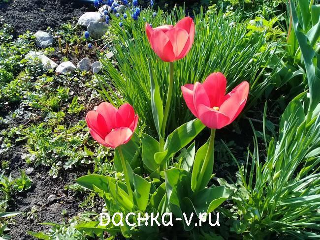 Розовые тюльпаны крупный бокал
