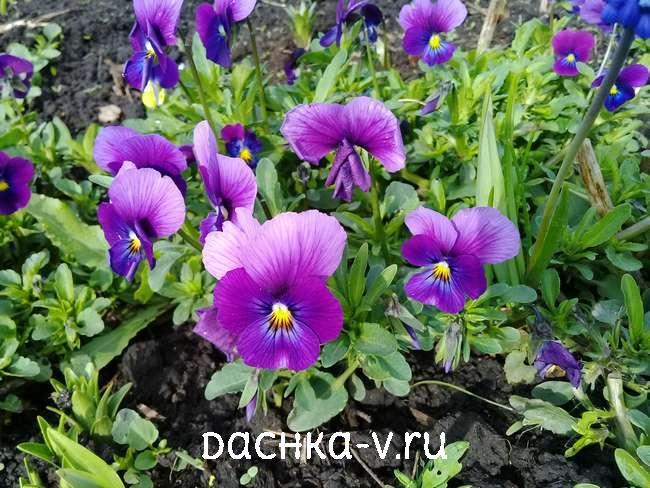 Виола на клумбе фиолетовая