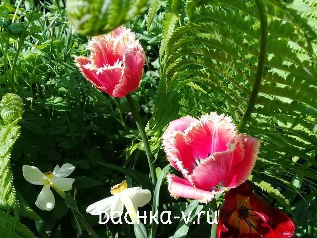 Бахромчатые розовые тюльпаны