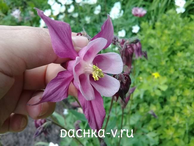 Аквилегия темно розовая фото цветов