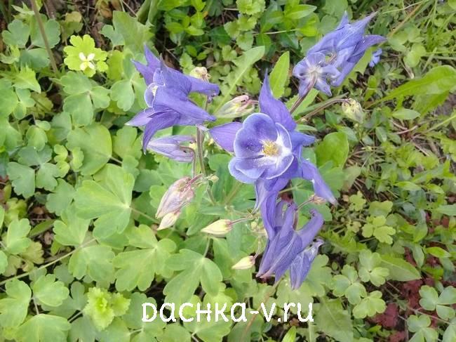 Аквилегия светло голубая фото цветов