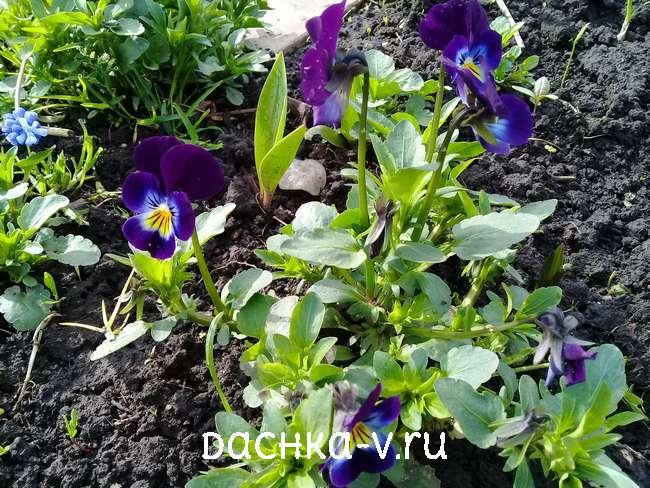 Виола на клумбе темно-фиолетовая