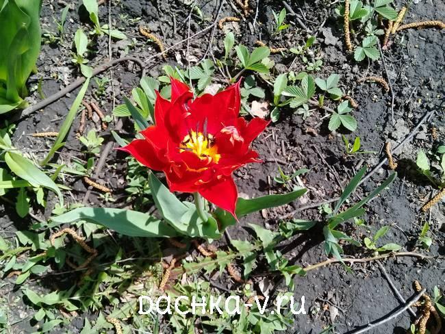 1 Красный махровый тюльпан низкорослый