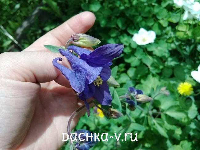 Аквилегия синяя фото цветов